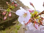 春 さくら 〜散歩においでよ!〜