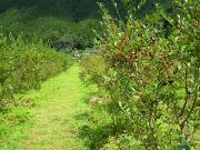 ブルーベリーの畑