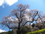 桜、桜・・♪d(⌒〇⌒)b♪