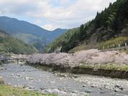 仁淀川の桜