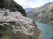 大渡ダム湖畔の桜